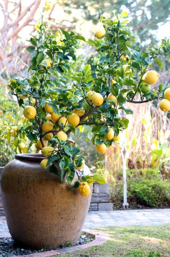 pedra miracema jardim:Um vaso com frutífera é sempre uma boa pedida. Na imagem o Limão